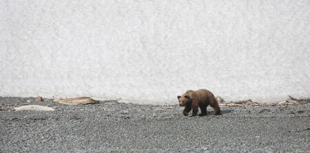 A young suspicious shaggy brown bear on a shingle Bank. An angry and aggressive bear is walking along the sea shore on the rocks against the background of snow. 스톡 콘텐츠