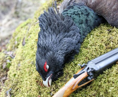 Trophy European capercaillie and part of the gun on the moss. The head of a male capercaillie after hunting   in the spring.  스톡 콘텐츠