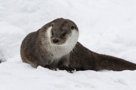 River otter in winter fur posing in the snow. A male European river otter looks warily away.