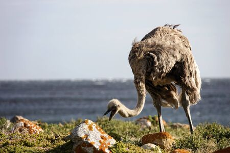 The African ostrich eats grass and grazes on the seashore. A female large flightless ostrich bird feeds on the ocean. 스톡 콘텐츠 - 148013947