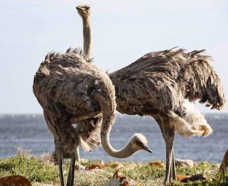Female ostrich graze among rocks and grass on the ocean coast. Two African ostriches search for food among vegetation and boulders.