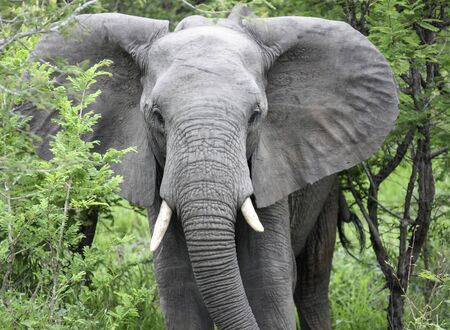 An elephant walks through a thicket of wild acacia in the savanna. The African elephant feeds and grazes in the wild. 스톡 콘텐츠 - 149690928