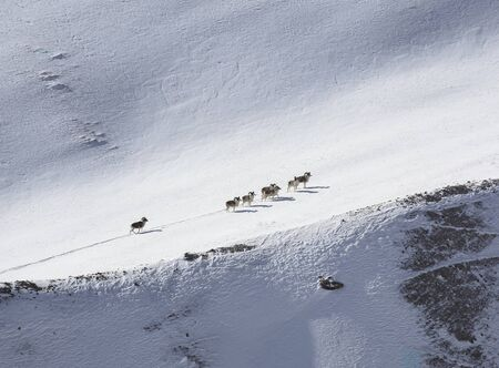 A group of mountain sheep climbs the mountain slope. Male argali rams climb the gentle snow slope of the mountain.  스톡 콘텐츠