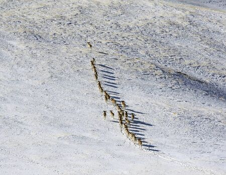 Young male mountain sheep climb the mountain slope. A herd of male argali rams ascend the gentle snow slope of the mountain. 스톡 콘텐츠