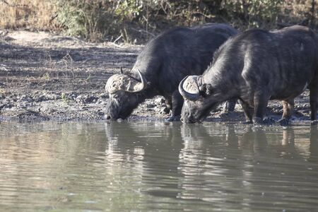 Two old black bulls at a watering hole in the afternoon. Two male African Buffalo with large horns drink water from a natural reservoir. 스톡 콘텐츠