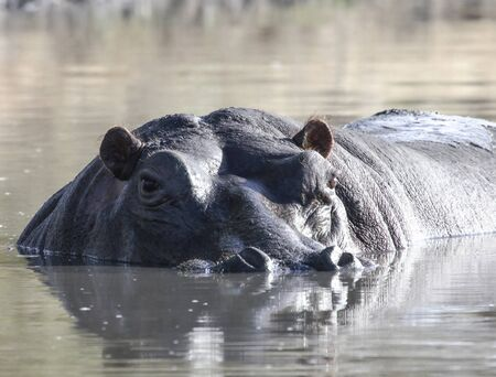 A large wild male hippopotamus above the water surface. The head of a Hippo bull guarding its reservoir in Africa. 스톡 콘텐츠