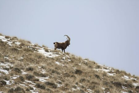 Siberian ibex stands on a mountain slope against the sky. A young mountain goat looks down curiously.