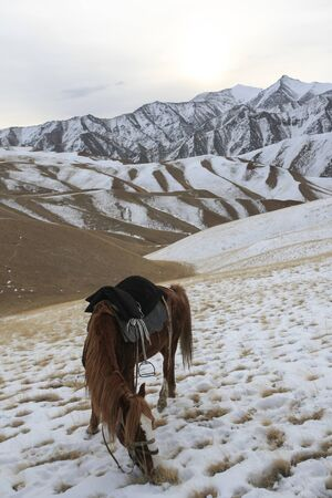 A red horse under a saddle eats grass in the evening in the winter mountains.