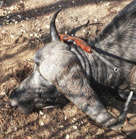 Trophy Cape Buffalo after hunting with a rifle. Zimbabwe, 스톡 콘텐츠