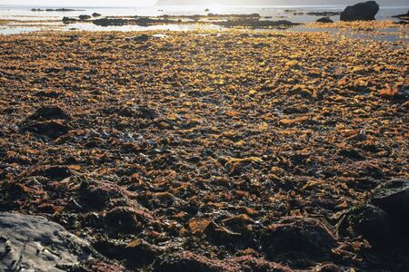 Seaweed in the zone of low tide on the shore of the sea of Okhotsk in the Magadan region,
