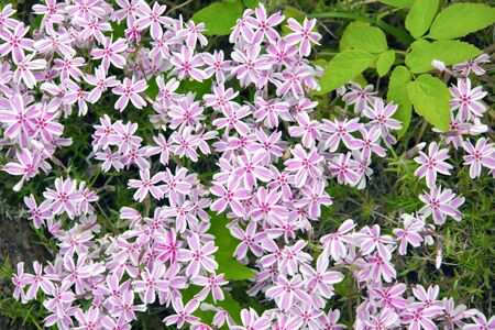 Flowers Phlox subulate groundcover. Creeping Phlox blooming pink. Stems, petals, corollas, leaves in the flower bed in the garden