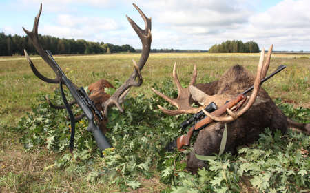 Hunting trophies of elk and deer with weapons after the hunt. Trophies of red deer and European elk in the traditional layout in oak leaves after hunting the roar.