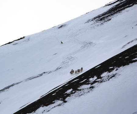 A lone wolf hunts mountain sheep in winter. A wild wolf chases a group of argali down a snowy mountainside. Pursuit of mountain ungulates by a predator.  스톡 콘텐츠