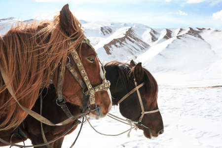 Two horses in harness in the winter in the mountains. Heads of tired horses against the background of a snow-covered pass in the mountains. 版權商用圖片