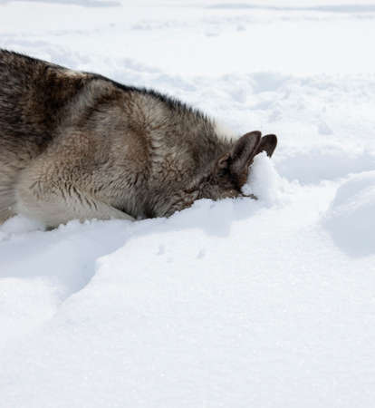 Gray dog Laika sniffs a trail in the fresh snow. The husky looks for the smell of an animal in the deep snow. The wolf looks for the scent of a wild hoofed animal's trail in the snow.
