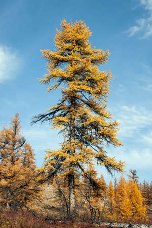 Siberian larch with orange needles in autumn against a blue sky. A shaggy old coniferous tree of Northern larch on the river Bank in September. Lonely tree Siberian larch in autumn in the North of Evenkia. Krasnoyarsk region, Siberia, Russia, Asia,