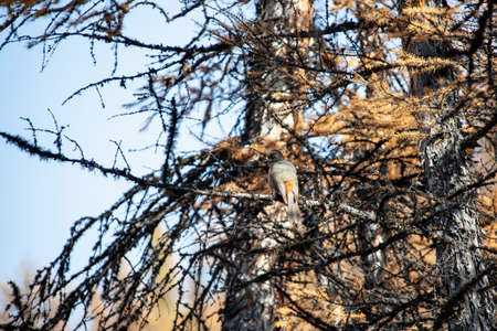 Siberian Jay is a bird of the Corvidae family, sitting among the branches and needles of a larch tree. Kuksha sits and disguises itself on a branch of Siberian larch, in autumn. Siberia, Russia, Asia 스톡 콘텐츠