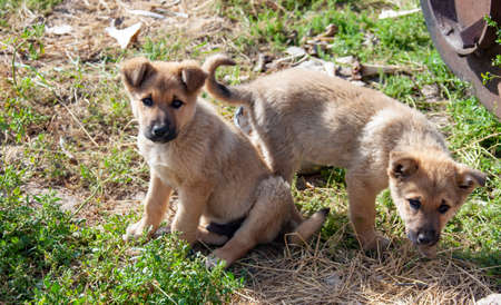 Asian shepherd dog puppies play on the grass. Two small puppies of light brown color are looking at the camera. 스톡 콘텐츠 - 153404692