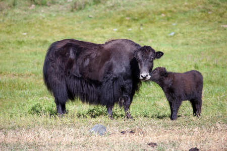Yak cow and a calf communicate in a green meadow. A female yak without horns and a goby in an alpine pasture. 스톡 콘텐츠 - 153404700