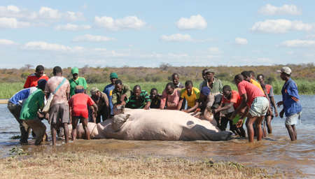 A group of village men pull a hippopotamus out of the water. Some black guys roll a dead Hippo out of the river. It is a difficult job to drag a Hippo out of a swamp. 에디토리얼