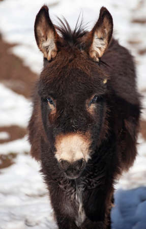 Portrait of a young domestic donkey from a mountain village. A pack hoofed animal looks at the camera.