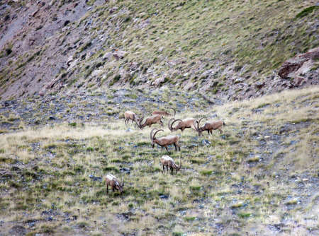 Siberian mountain ibex graze high in the mountains. A herd of male Asian ibex with large horns feeds on a grassy slope. 스톡 콘텐츠 - 153445652
