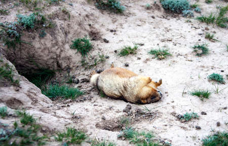 Groundhog who died from the disease lies at the burrow. A dead gray marmot is lying on its back at the entrance to the burrow. Asia 스톡 콘텐츠 - 153850551