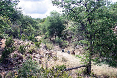 Three men with guns are walking along a trail in an African hunting area. Tracker and hunters are on the trail of animals in the African Bush. 스톡 콘텐츠 - 153850552