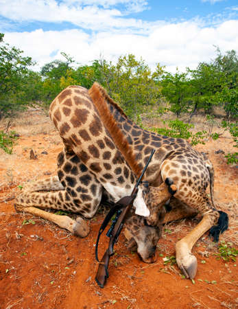 Giraffe hunting trophy with a rifle after an official hunt in South Africa. A male African giraffe after a licensed trophy hunt in South Africa. 스톡 콘텐츠 - 153850553