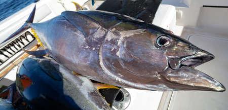 Yellowfin tuna fish on Board the yacht after sea fishing. Large predatory tuna close-up after ocean fishing.
