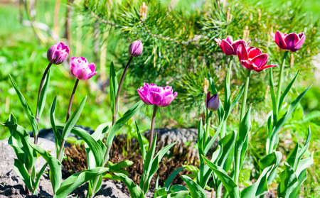 Blooming garden tulips on the background of pine needles. Group of flowers of Terry maroon tulips in a flower bed. 스톡 콘텐츠 - 155037056
