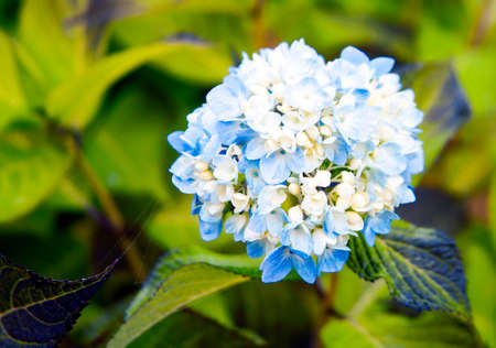 Large-leaved garden hydrangea flower with blue hues. Blooming complex inflorescence of hydrangea on the background of green leaves of flower beds. 스톡 콘텐츠 - 155040670