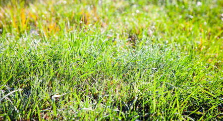 Background of green grass with dew drops on the autumn green uncut lawn. Drops of morning rain on the grass in the sun. 스톡 콘텐츠 - 155036988