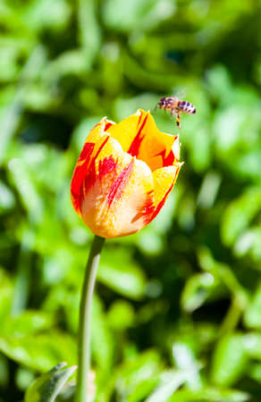 Bud of a red-yellow striped Tulip in dew with a bee. A bee flies up to a blooming Tulip. 스톡 콘텐츠 - 155036932