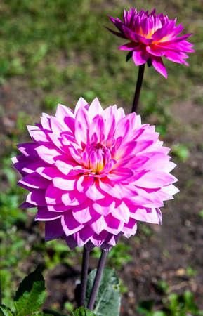 Blooming Dahlia varieties