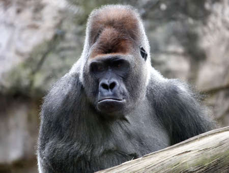 An adult dominant male gorilla carefully observes the space. The leader of a herd of large primates in a calm state of contemplation and satiety. Foto de archivo