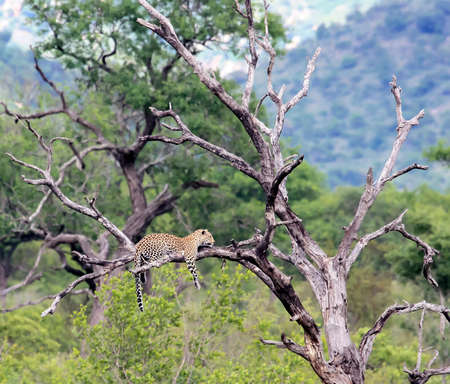 A wild leopard lies on a dry tree with its paws hanging down. A large leopard is lying quietly on the branch of a tall tree.