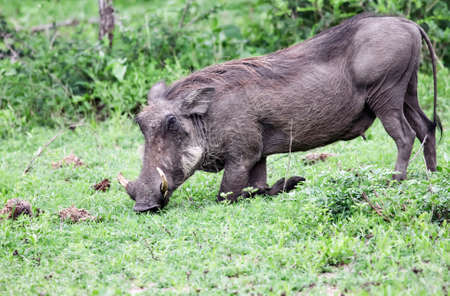 Wild boar-warthog eats grass on his knees. A female warthog grazes on fresh grass in the natural conditions of the African bush.