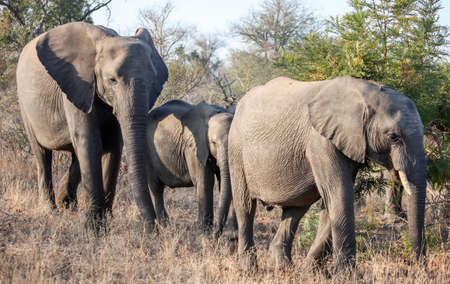 Wild elephants are walking on the savanna among the thorny acacia bushes. Three African elephants move through the bush, feeding on the leaves of plants.