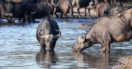 Wild African buffaloes drink water from the lake at dawn. A young bull and a Buffalo cow stand in the water at the morning watering hole. 스톡 콘텐츠