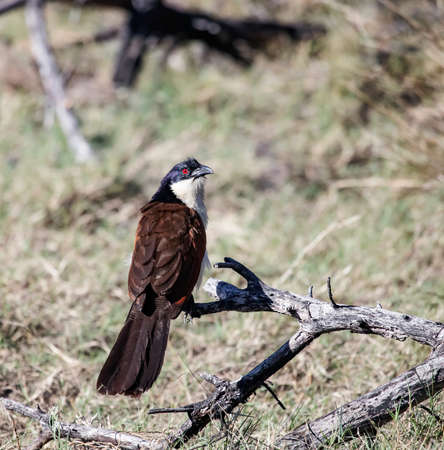 Copper-tailed coucal or Centropus cupreicaudus) or white-necked coucal sits on a dry branch. The coucal is a species of cuckoo in the family Cuculidae.