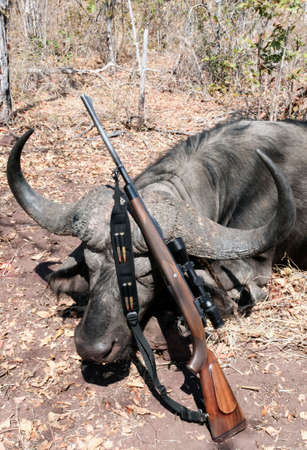 Buffalo hunting trophy with magnificent horns and a rifle with cartridges on the belt after the hunt. The African buffalo is a prestigious type of trophy safari and a hunting weapon at the horns of a bull.