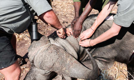 African hunters handle a buffalo trophy after a joint hunt. The hands of a professional hunter, together with the hands of the black and white trackers, make a cut of the buffalo hide. 스톡 콘텐츠