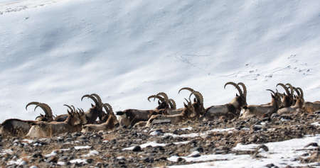 Ibex run along rocky ridge against the background of snow-covered slope. A herd of Central Asian Ibex with females and goats migrate in winter.