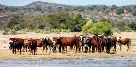 Herd of native spotted cattle at a watering hole in the afternoon. A Cows and bulls with big horns on the shore of a pond in hot weather. 스톡 콘텐츠