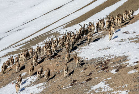 Herd of ibex climbs up a snow-covered, rocky mountainside. A large herd of Siberian mountain goats of different sexes and ages migrates to another territory in winter.