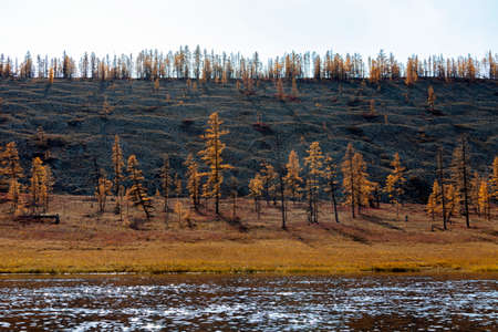 Coast of the wild Siberian taiga river with mounds of glacial erosion. Traces of permafrost melting and climate change in northern Siberia. Larch September forest tundra on the banks of the northern river.