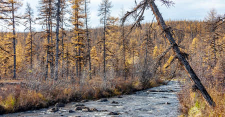 Swampy autumn larch taiga in northern Siberia. Mountain stream in on the border of the forest and tundra before the onset of cold weather.
