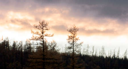 Disturbing colors of the celestial landscape at sunset over the burning taiga. Evening clouds over the larch taiga in the smoke of wildfires. 스톡 콘텐츠