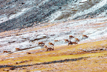 Herd of wild Siberian ibex grazes in high-altitude meadows in autumn. Male ibex feed on a mountainside in a snowfall.
